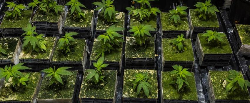 growing medical marihuana health canada application